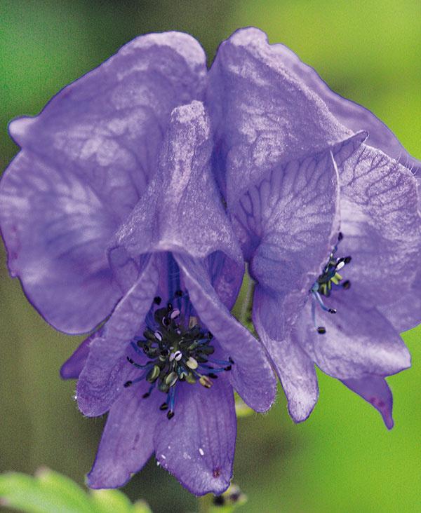 Nebezpečná kráska  Klenotom jesenných trvalkových záhonov môže byť aj niečo menej tradičné. Vyplatí sa vyskúšať ploštičník (Cimicifuga racemosa) alebo prilbicu (Aconitum carmichaelli 'Arendsii'). Prilbica je vyššia amimoriadne dekoratívna trvalka,upúta najmä svojimi žiarivomodrými kvetmi, ktoré na prvý pohľad pripomínajú prilby. Táto typicky jesenná trvalka spestruje záhradu kvetmi vobdobí, keď na záhonoch už takmer nič nekvitne – od septembra až do novembra. Vtomto období sa dá aj kúpiť. Táto rastlina je však prudko jedovatá, nepatrí preto tam, kde by sa knej mohli dostať malé deti. Malo by sa sňou manipulovať vrukaviciach. Vzáhrade sa bude prilbici dariť na polotienistom, skôr na sever orientovanom mieste shumóznou mierne vlhkou pôdou. Najkrajšie vynikne vysadená vskupinách.