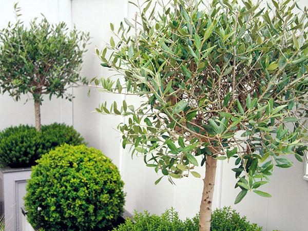 Ak pestujete exotické rastliny vnádobách, možno si práve lámete hlavu nad tým, či majú prezimovať na svetle alebo vtme. Vždyzelené dreviny (vavrín, oleander, olivovník, palmy či citrusy) by mali prezimovať na svetle avchlade. Naopak druhy, ktoré na zimu strácajú listy (lantana, ľulok, durman, figovník alebo granátovník), bude lepšie prezimovať vtme avchlade. Aj vprípade, že má rastlina prezimovať vtme, nemala by byť úplná – odporúča sa, aby bolo vmiestnosti aspoň malé okienko, ktoré je nevyhnutné aj na vetranie. To sa vykonáva vdňoch, keď je slnečno anemrzne azabraňuje sa ním šíreniu hubových ochorení. Netreba zabúdať, že všetky zimujúce rastliny je potrebné občas zaliať odstátou vlažnou vodou.  Krátko po prenesení na zimovisko stratí väčšina rastlín listy, ktoré je nutné ihneď odstrániť.