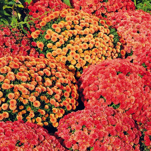Chryzantémy prestavujú najdlhšie pestované dlhoveké trvalky. V sortimente záhradníctiev nájdete širokú paletu rôznych druhov aj kultivarov – vzrastovo menšie a kompaktnejšie či vyššie, s jednoduchými aj plnými kvetmi. Chryzantémy v črepníkoch sa môžu stať peknou dekoráciou vstupnej časti domu alebo terasy. Vysádzať ich ale teraz na záhony s cieľom dlhodobejšieho pestovanie nemá veľký zmysel. Pri pestovaní v nádobách je dôležité dopriať týmto rastlinám najmä dostatok vlahy (zalieva sa do misky). Na nedostatok vody chryzantémy reagujú vädnutím, žltnutím listov a zasychaním kvetných pukov. Počas chladnejších nocí je dobré rastliny zakryť netkanou textíliou. Po odkvitnutí je dobré rastlinám odstrániť zvyšky kvetov a celý trs skrátiť približne na polovicu. Chryzantémy nechajte pri občasnej zálievke prezimovať v svetlej chladnej pivnici. Na jar ich potom môžete vysadiť.