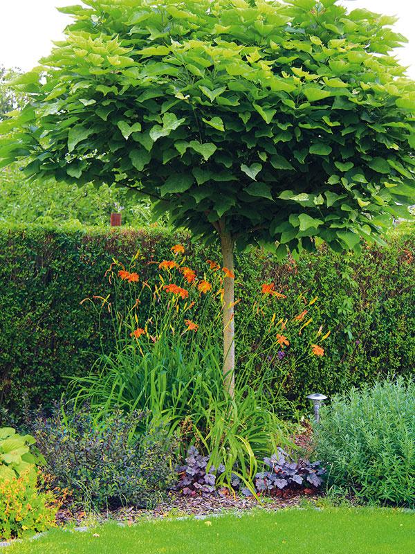 Majitelia chceli mať vo svojej záhrade aj listnaté okrasné stromy. Vexteriéri tak nájdete aj niekoľko druhov skompaktnou guľovitou korunkou – katalpu (Catalpa bignonioides 'Nana', na obrázku), okrasnú jabloň atiež okrasnú slivku snádherným vínovočerveným olistením.