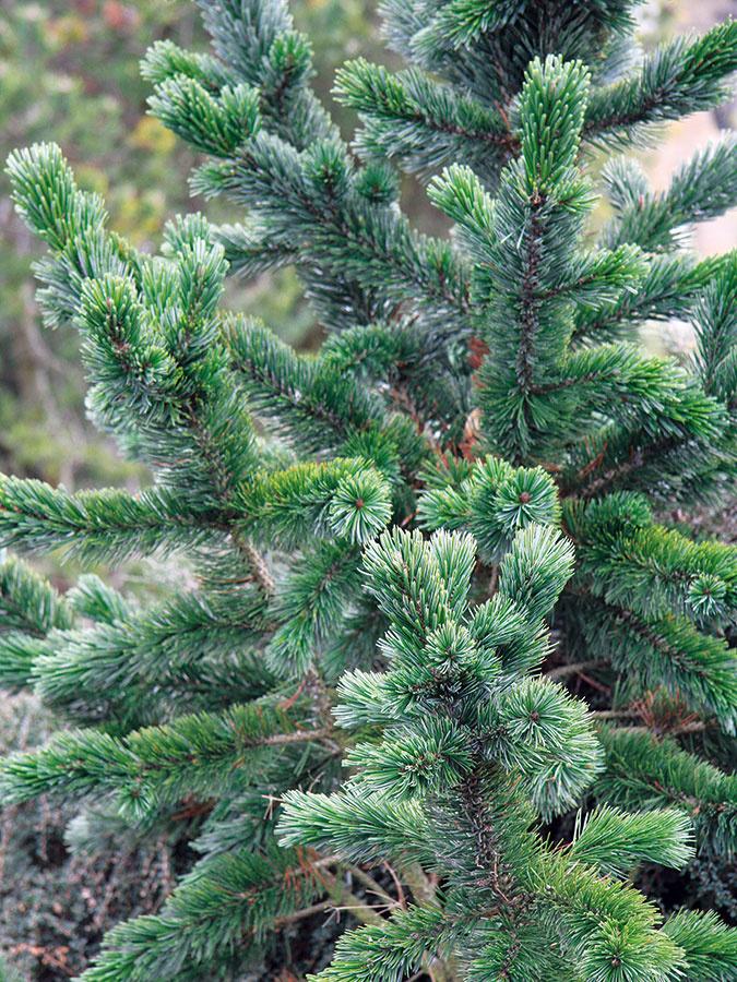 Borovicu ostitú (Pinus aristata) mnohí odborníci zaraďujú knajstarším drevinám našej planéty. Pochádza zo Severnej Ameriky, je dlhoveká apomaly rastúca, pričom dosahuje výšku až 10 m. Ide omimoriadne pôvabný avzácny ihličnan stuhými tmavozelenými ihlicami so strieborným prúžkom azvláštnym akoby krovitým vzrastom. Rastie neobvykle –väčšinou do strán. Ihlice neopadávajú, na drevine vydržia mnoho rokov, až kým sa nevymenia za nové, čím sa táto borovica odlišuje od ostatných. Tento ihličnan potrebuje slnečné miesto asuchšiu priepustnú pôdu. Je dokonale mrazuvzdorný, odolný proti chorobám iškodcom. Nevyžaduje prihnojovanie ani tvarovanie, nehrozí mu vyvrátenie či zlomenie vo vetre. Doprajte mu reprezentatívne miesto, aby ste ho mohli obdivovať zo všetkých strán.