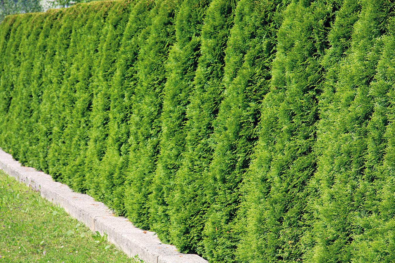Ihličnanmi možno oddeliť záhradu od susedných pozemkov, prípadne rozdeliť ten vlastný. Treba však myslieť na to, že nie všetky druhy sú vhodné na tvarovaný živý plot. Ideálny je napríklad tis, ktorý výborne znáša rez. Do voľne rastúceho, teda netvarovaného plota sú vhodné niektoré kultivary tuje západnej (Thuja occidentalis). Vďačný je 'Smaragd', ktorý videálnych podmienkach dorastá do výšky 5 m ašírky 1,5 m, má pekný tvar, kompaktný rast asmaragdové sfarbenie, ktoré pretrváva aj vzime. Vyžaduje slnečné miesto amierne vlhkú, nie vysychavú pôdu skyslou alebo alkalickou reakciou. Rez nie je potrebný, vprípade nutnosti ale možno po rokoch pestovania jemne zrezať vrch, prípadne aj boky. Pri výsadbe je dôležité zohľadniť správne rozstupy medzi jednotlivými rastlinami.