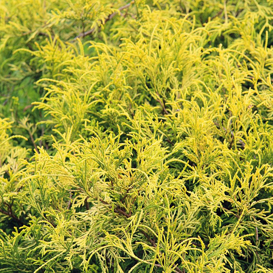 Ihličnany sdožlta sfarbeným ihličím sú vhodným riešením, ak vytvárate skupinu zviacerých druhov. Kompozíciu presvetlia ado záhrady vnesú sviežosť. Na výber máte viacero druhov. Pestovateľsky nenáročný je cypruštek hrachonosný (Chamaecyparis pisifera 'Golden Mop'), ktorý dorastá do výšky 1,5 m, šírky asi 1,3 m arastie stredne rýchlo až pomaly. Je hustý aaj bez strihania si udrží pekný tvar. Jeho zlatožlté sfarbenie navyše nemizne ani vzime. Cypruštek nádherne pôsobí najmä vkombinácii sjedincami so striebristým alebo tmavozeleným ihličím. Tento kultivar potrebuje slnečné miesto amierne vlhkú, nie vysychavú pôdu skyslejšou reakciou. Cyprušteky vo všeobecnosti zle znášajú letný úpal, na čo treba myslieť už pri výbere miesta. Aj vtomto prípade treba drevine venovať dostatok priestoru