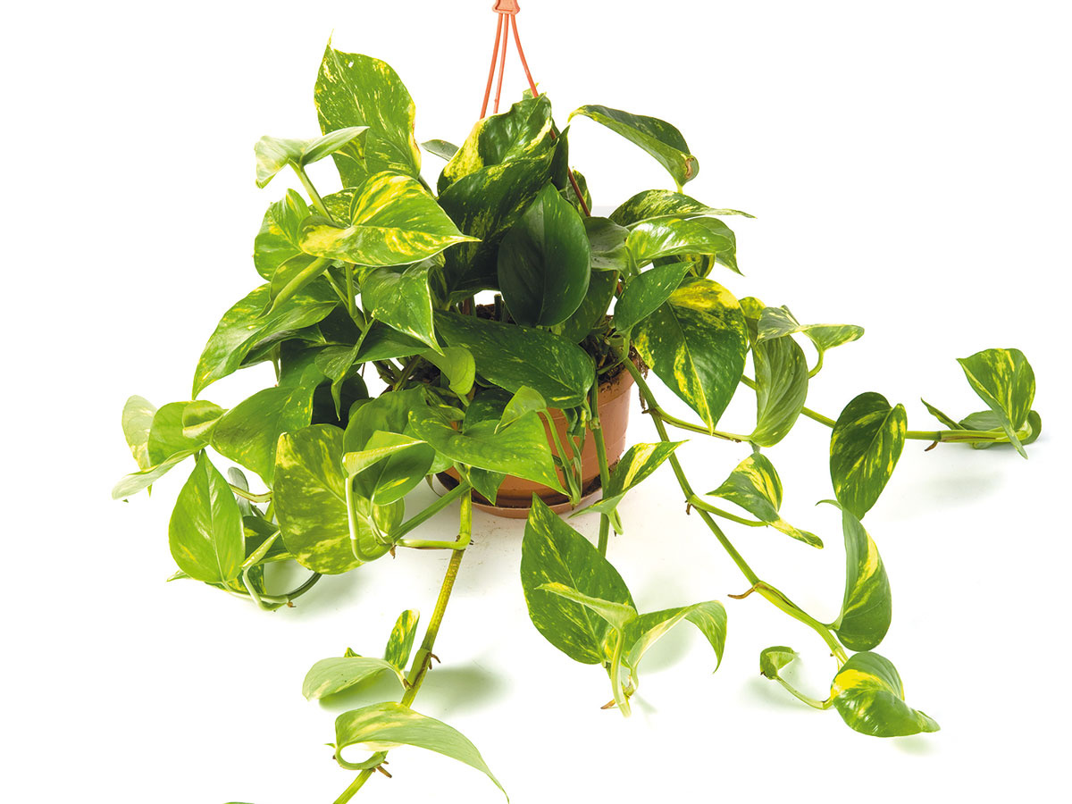 VKUCHYNI, kde sa varí na plyne, by rozhodne nemal chýbať zelenec alebopotos. Obe rastliny totiž zachytávajú zo vzduchu škodlivý oxid uhoľnatý.