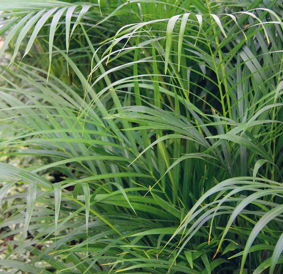 PALMY takisto patria do skupiny interiérových rastlín, ktoré dokážu pohltiť viaceré nebezpečné látky. Nie všade sa im však darí. Neznášajú prievan ačasté presúvanie. Vyhovuje im skôr polotieň.