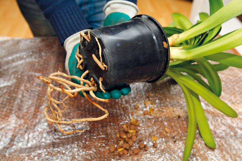 1 Revízia zelene aprezretie nádob. Izbovky by sa mali vzávislosti od rýchlosti rastu presádzať aspoň raz za tri až štyri roky. Presadenie je nevyhnutné vprípade, ak korene vyrastajú zodtokových otvorov, čo zistíte, len ak vegetačnú nádobu vyberiete zobalového črepníka. Nutnosť presadenia indikuje aj povrch substrátu pokrytý usadeninami solí zhnojív azálievky či riasy.