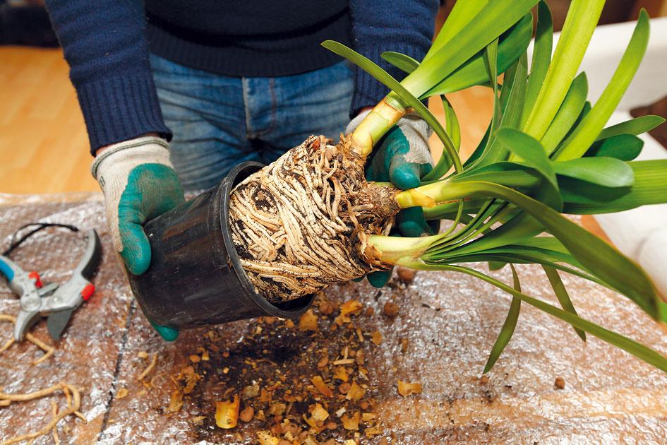 2 Vybratie rastliny. Presádzanú rastlinu opatrne uchopte jednou rukou vjej dolnej časti tesne nad substrátom.Druhou uvoľnite koreňový bal zpôvodnej nádoby. Ešte predtým môžete prevrátenú nádobu opatrne poklepať ookraj stola. Ak je bal príliš hustý aprekorenený aani tak sa nedá vybrať, korene opatrne uvoľnite nožom, prípadne nádobu rozstrihnite.