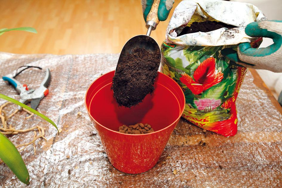 5 Substrát. Na drenážnu vrstvu nasypte substrát určený na pestovanie izbových rastlín, vtomto prípade na kvitnúcu zeleň. Mal by byť kyprý, mierne vlhký abez väčších hrúd. Univerzálne, prípadne dlho skladované substráty azemina zo záhrady nie sú vhodné.
