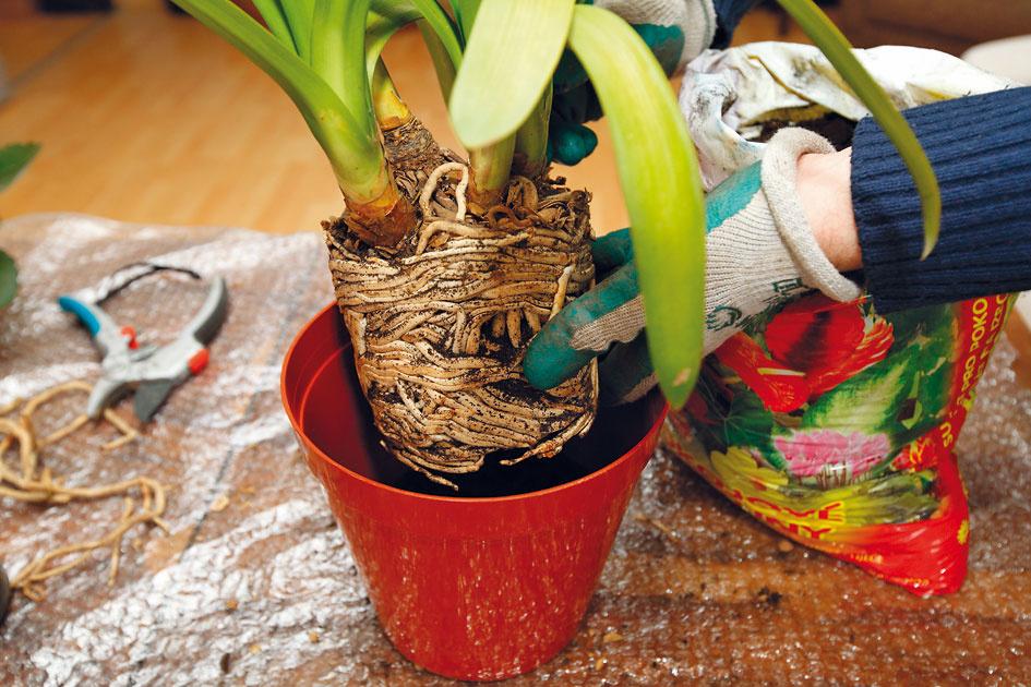 6 Vloženie rastliny. Do stredu nádoby položte koreňový bal – jeho horná hranica by mala byť aspoň 3cm pod okrajom nádoby. Umiestnenie rastliny určite nepodceňte, keďže môže dôjsť kvyplavovaniu substrátu,odhaľovaniu koreňov či zabrzdeniu jej rastu.
