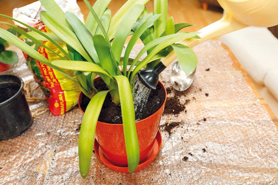 8 Zálievka. Po presadení rastlinu dôkladne zalejte vodou sizbovou teplotou. Ak substrát po zálievke klesne, dosypte ho arastlinu opäť jemne zalejte. Zalievať treba pravidelne – medzi zaliatiami by však mal substrát preschnúť, čím sa zabráni vzniku hubových ochorení. Po mesiaci môžete začať sprihnojovaním.