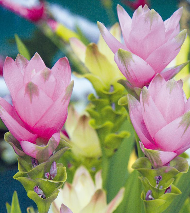 Vponuke kvetinárstiev sa vposledných rokoch objavuje aj krásna mohutnejšie rastúca kvitnúca izbová rastlina sexotickejším vzhľadom. Ide okurkumu (Curcuma alismatifolia). Jej neobyčajné súkvetia bielej, ružovej alebo bordovej farby vyniknú najmä vmoderných svetlých interiéroch sbielym nábytkom. Kurkuma kvitne priebežne počas celého roka, najviac ale na jar avlete azaujme aj svojimi dlhými kopijovitými listami. Kurkumu umiestnite dosvetlej ateplej miestnosti, vktorej teplota neklesá pod 20 °C. Potrebuje neustále mierne vlhký substrát apravidelné prihnojovanie. Po odkvitnutí je potrebné menej ju zalievať adopriať jej vegetačný pokoj. Rastline vyhovuje vyššia vzdušná vlhkosť, pri suchom vzduchu ju môžu napadnúť roztoče.