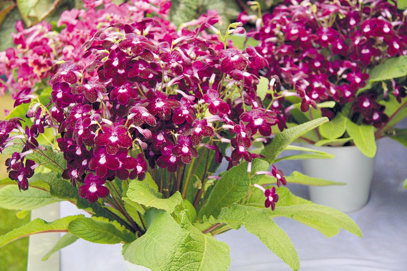Streptokarp (Streptocarpus hybrid) patrí kmálo pestovaným, ale vďačným izbovým rastlinám. Prednosťou tejto rastliny so životnosťou najviac tri roky je bohaté kvitnutie najmä na začiatku akonci zimy. Jej domovinou sú tropické africké lesy, preto vyžaduje vyššiu vzdušnú vlhkosť, ktorá je predpokladom pekne vyfarbených kvetov. Tie sú lievikovité avzávislosti od kultivaru môžu mať rôzne farby (okrem žltej). Rastline vyhovuje svetlé, prípadne polotienisté miesto ateplota okolo 20 °C, vchladnejších priestoroch kvitne menej. Substrát je potrebné udržiavať neustále mierne vlhký apotrebné je aj prihnojovanie raz za 14 dní. Tvorbu kvetov podporuje popri hnojení aj odstraňovanie tých odkvitnutých. Streptokarp vyniká najmä vo vidieckych interiéroch, napríklad na parapete vkuchyni.
