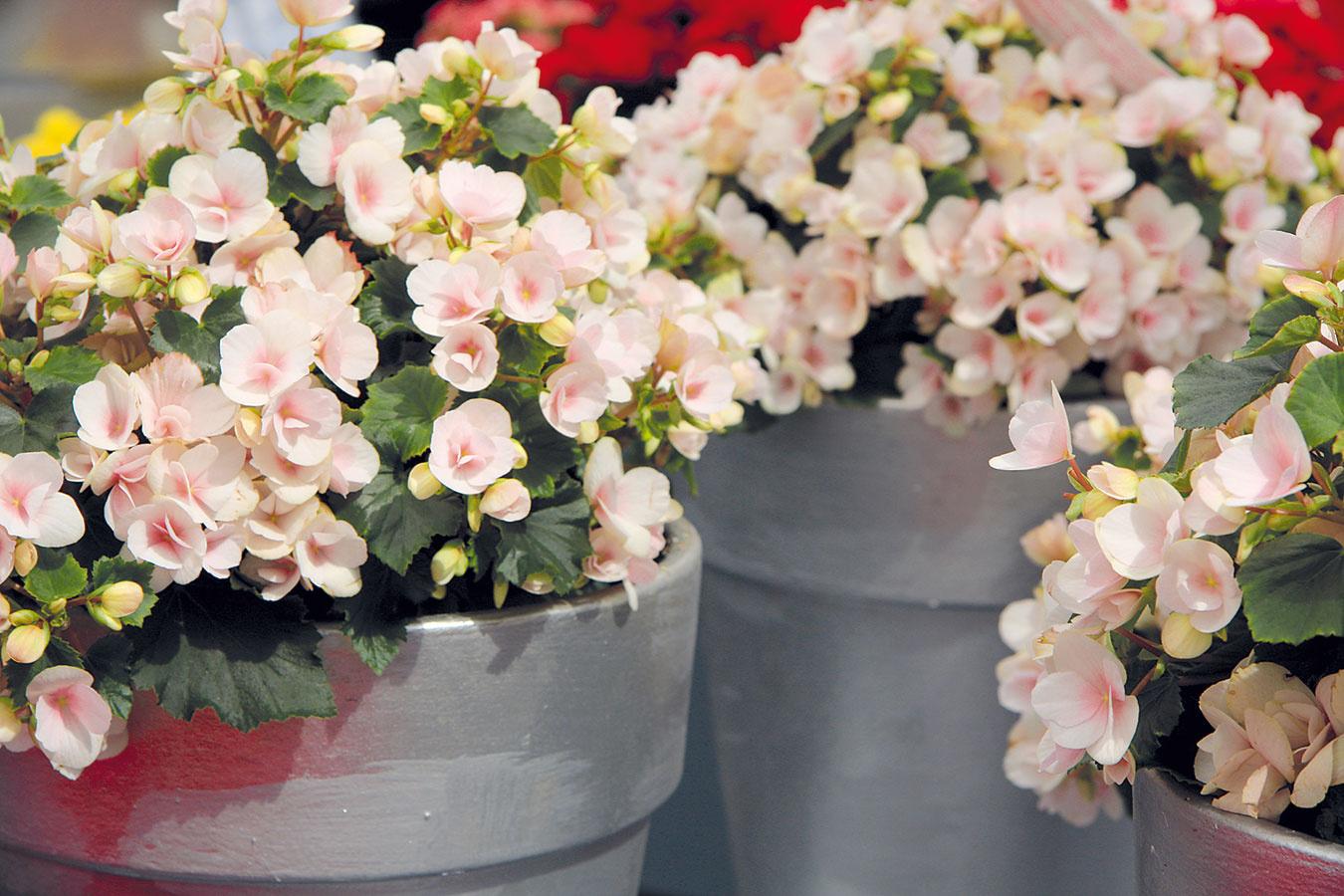Begónie (Begonia elatior) sa vďaka svojim krásnym kvetom tešia veľkej obľube vmodernom ividieckom interiéri. Kvitnú vzimnom období, ich kvety sú prevažne okrúhle, plné alebo jednoduché, najčastejšie biele, jemne alebo sýtoružové, oranžové, červené či žlté. Naraz ich rozkvitá obrovské množstvo, pričom takmer nevidno ich krehké listy. Begónie sa vyznačujú košatým, ale kompaktným rastom. Ide okrátkodobé rastliny – po odkvitnutí sa ich nevypláca ďalej pestovať. Predpokladom bohatého kvitnutia je svetlé, teplé anajmä vzdušné miesto, kde sa častejšie vetrá. Skvitnúcou rastlinou by sa nemalo hýbať, pretože je náchylná na poškodenie. Substrát udržiavajte stále mierne vlhký (zálievka ku koreňom) arastlinu raz za 14 dní prihnojte hnojivom na kvitnúce izbové rastliny.