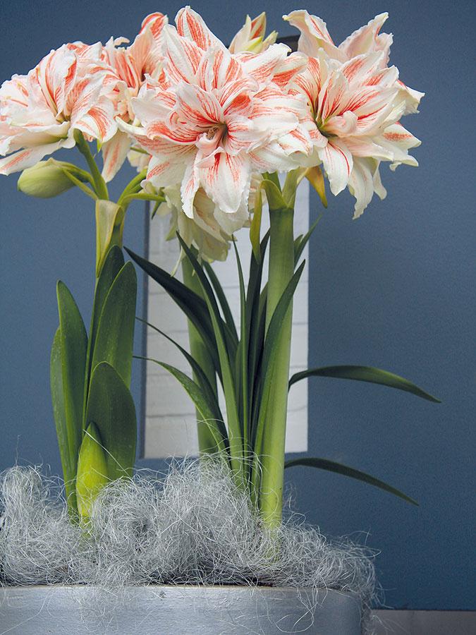 Kvitnúce zornice (Hippeastrum hybrid) vnesú do vášho domova dynamiku, ato najmä vprípade, ak si zvolíte načerveno kvitnúce kultivary. Okrem nich nájdete vponuke aj nabielo anaružovo kvitnúce kultivary,  vposlednom čase ponuku obohatili aj jedince snetradičnými pruhovanými aviacfarebnými kvetmi. Podľa mnohých zdrojov sú zornice výborným pomocníkom pri terapii farbami. Ide oelegantné, neprehliadnuteľné, no nie veľmi výstredné či miesto zaberajúce izbovky, ktoré sú vhodné do staršieho aj moderného minimalistického interiéru. Okrem kvetov zaujmú aj svojimi dlhými svetlozelenými remeňovitými listami. Rastlina vyžaduje svetlé ateplé miesto, počas kvitnutia intenzívnejšiu zálievku. Aby vynikla, potrebuje dostatok priestoru. Efektné je zoskupiť do jednej nádoby viacero kvitnúcich rastlín.