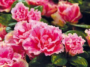 10 najkrajšie kvitnúcich izbových rastlín