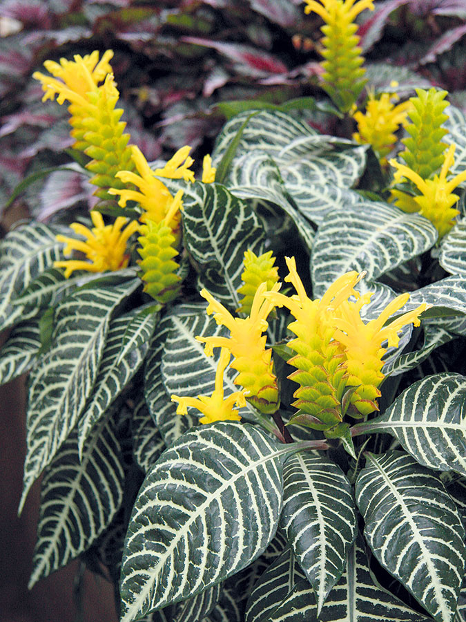 Afelandra (Aphelandra squarrosa) je mohutnejšie pôsobiaca rastlina, ktorá očarí peknými kvetmi aj ozdobnými listami. Kvet má tvar klasu aje zložený zo žltých listeňov ažltých rúrkovitých kvetov. Pri optimálnych podmienkach môže kvitnúť celoročne, väčšinou je to ale len vlete. Najlepšie porastie na svetlom ateplom mieste svyššou vzdušnou vlhkosťou. Tú možno zvyšovať aj tým, že ju budete postrekovať vlažnou vodou. Vzime by mala byť umiestnená na chladnejšom mieste. Substrát je potrebné udržiavať mierne vlhký, prihnojovanie nie je potrebné. Aby si afelandra uchovala atraktívny tvar, je dobré upraviť ju po odkvitnutí rezom. Myslieť treba aj na to, aby mala rastlina dostatok priestoru. Umiestniť ju môžete do jedálne alebo obývacej izby, ideálne do jednoduchého bieleho črepníka.
