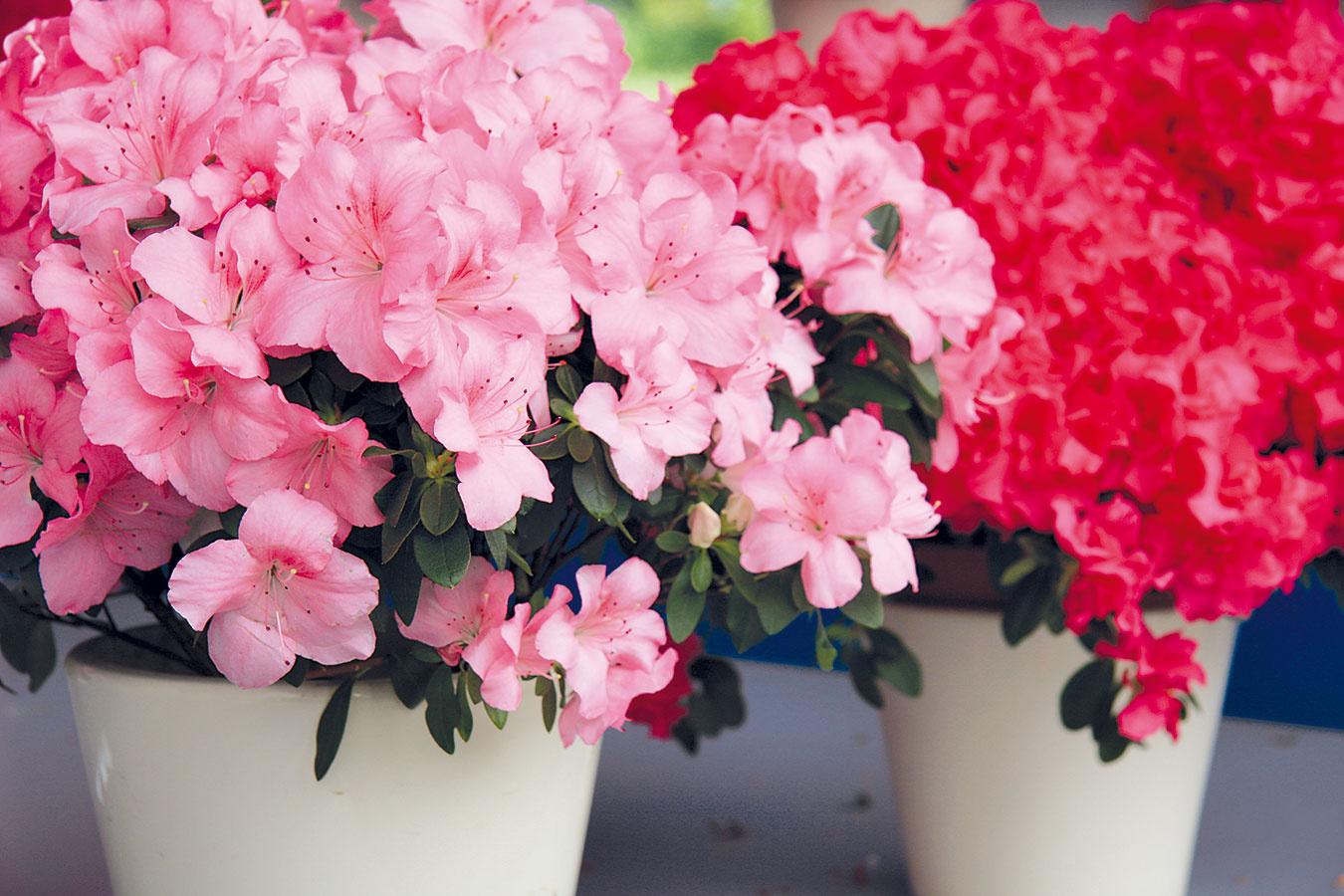Azalka (Rhododendron simsii) pochádza zvlhkých lesov Japonska aČíny aunás sa dobre udomácnila. Aby sa jej dobre darilo, potrebuje svetlé, skôr chladnejšie miesto steplotou do 15 °C. Umiestniť ju treba do priestoru srozptýleným svetlom, prípadne do polotieňa, tesná blízkosť okna nie je vhodná. Tieto pomaly kríkovite rastúce rastliny zalievajte mäkkou odstátou vodou. Nemajú rady presychanie substrátu ani premočenie koreňov, vyplatí sa rosiť ich vlažnou vodou. Prihnojovanie počas kvitnutia nie je veľmi potrebné. Azalky vynikajú lievikovitými kvetmi ružovej, bielej alebo červenej farby apekné sú aj ich tmavozelené lesklé listy. Ozdobia chladné verandy, chodby, prípadne spálne. Po odkvitnutí ich možno ďalej pestovať, vlete aj na balkóne či vzáhrade.