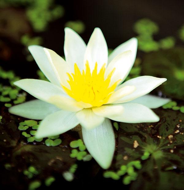 Jazierko vkvetináči