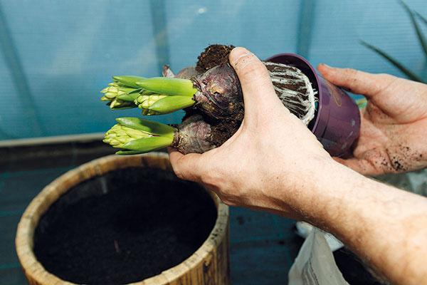 3 Hyacinty. Pokračujte výsadbou prvých rastlín, vnašom prípade hyacintov. Vysádzajte ich skoreňovým balom (ten však určite nerozoberajte). Po vybratí zčrepníka skontrolujte korene atie poškodené či napadnuté hnilobou odstráňte. Rovnako skontrolujte aj pevnosť anepoškodenosť cibúľ. Množstvo vysádzaných cibúľ závisí od veľkosti nádoby.