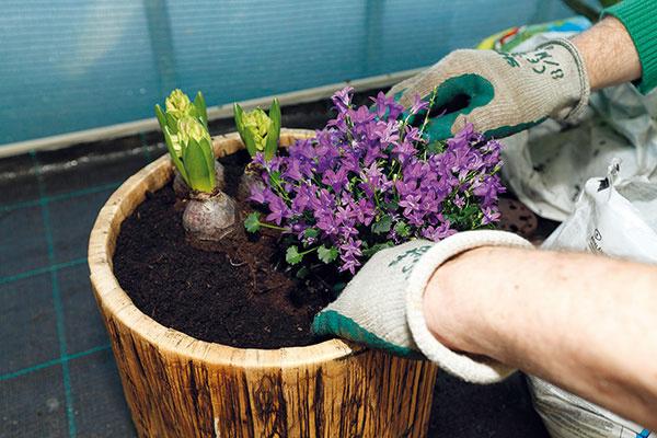 Zvončeky. Nasledujú zvončeky, ktoré sa vyznačujú početnými kvetmi, sviežimi zelenými listami apríjemnou vôňou. Ešte pred výsadbou ich dobre zalejte. Vysádzajú sa skoreňovým balom, ktorý tiež skontrolujte. Trvalku umiestnite kokraju nádoby, kde budú zakvitnuté výhonky efektne prevísať. Dosypte substrát tak, aby sa dôkladne zakryli korene, ajemne ho utlačte.