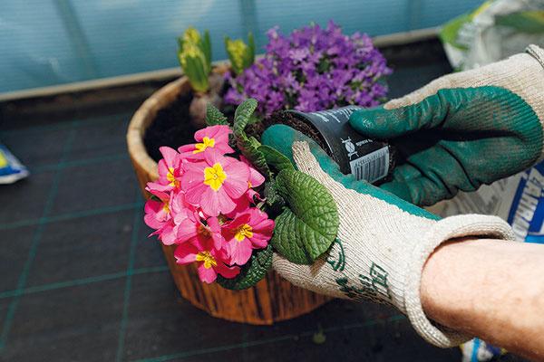 5 Prvosienky. Pokračujte svýsadbou prvosienok. Tieto bohato kvitnúce trvalky sa vyznačujú nenáročnosťou arýchlym rastom. Vysádzajte ich skoreňovým balom adajte pozor, aby ste nepoškodili ich jemné kvetné puky. Koreňové baly opäť nezabudnite skontrolovať. Rastliny pre ich nízky vzhľad situujte kokraju nádoby, dôkladne zasypte substrátom aopatrne ho pritlačte.