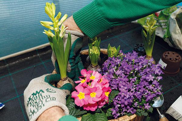 6 Doplnenie rastlín. Ak vnádobe ešte zostalo voľné miesto, môžete do nej umiestniť ešte ďalšie, ideálne vyššie, rastliny – napríklad rýchlené narcisy, pekné môžu byť aj botanické tulipány. Kompozícia tak získa atraktívnejšiu podobu ačiastočne aj výškový rozmer. Saďte ich opatrne, aby ste nepoškodili už vysadené rastliny anajmä ich kvetné puky.