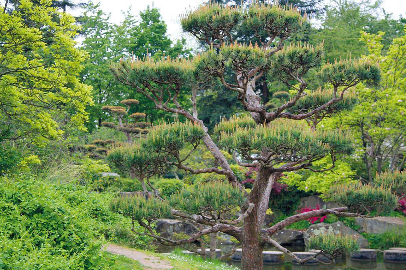 Veľké záhradné bonsaje sú aktuálnym hitom. Uplatnenie nájdu v záhradách v ázijskom štýle, v moderných mestských predzáhradkách aj átriách. Najčastejšie ide o vytvarované ihličnany − borievky, borovice, prípadne tisy. Môžu byť vysadené priamo v pôde alebo v objemnej nádobe. Do voľnej pôdy je najvhodnejšie ich vysádzať práve v apríli. Aby si zachovali atraktívny tvar, vyžadujú pravidelné strihanie, na ktoré je najvhodnejší apríl, prípadne prvá polovica mája a potom až koniec augusta. Obláčiky ihlíc stačí skrátiť asi o polovicu nožnicami na živý plot ideálne počas zamračených suchých dní. Na jar im nezabudnite dopriať intenzívnu zálievku.