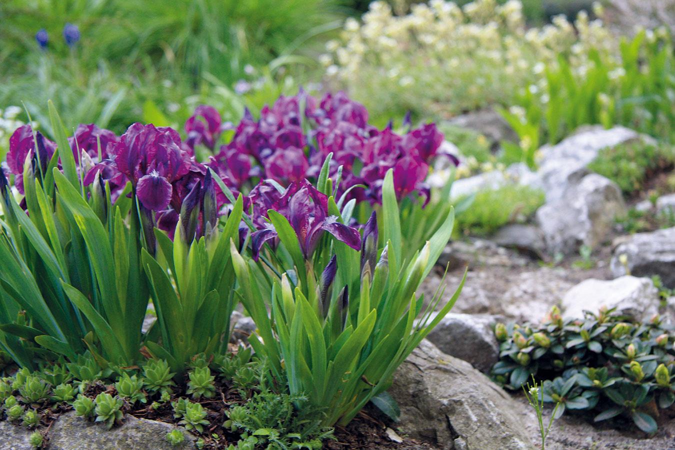 Jar je vhodná na nákup skalničiek. Dostať ich kúpiť aj v kvitnúcom stave a tak ich možno aj s koreňovým balom vysadiť. Skalku spestria hľuznaté rastliny (veternice), zakrpatené ihličnany (cyprušteky, smreky), kobercové skalničky (floxy, taričky, lomikamene) alebo aj rôzne vzácne rastliny (poniklec, hlaváčik, soldanelka). Postup výsadby je jednoduchý. Ak je rastlina suchá, treba ju pred výsadbou dobre zaliať. Pomocou menšej lopatky sa potom opatrne vyhĺbi jama, na jej dno sa nasype trochu kamienkov a vysadí sa rastlina. Jej bal treba zasypať substrátom podľa požiadaviek vysádzaného druhu. Povrch substrátu následne zalejte a nasypte naň drobnú kamennú sutinu.