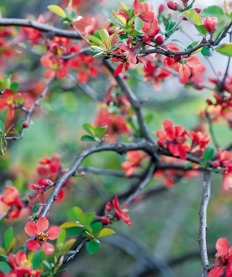 Hneď ako sa začne otepľovať, objaví sa vzáhradníctvach najširšia ponuka typicky jarných rastlín. Skoro na jar sa môžete pustiť do výsadby živých plotov zopadavých listnáčov (neskôr aj zo vždyzelených druhov aihličnanov), solitérnych stromov ana jar kvitnúcich krov – okrasných ríbezlí, kérie, dulovca či orgovánu. Vponuke nájdete aj vresovce (Erica herbacea), rozmanité rozkvitnuté skalničky, rýchlené cibuľoviny či kvitnúce dvojročné rastliny, ktoré sú vhodné na výsadbu do vegetačných nádob alebo na kvetinové záhony napríklad vkombinácii sjarnými cibuľovinami. Pestrejšia začína byť vtomto období aj ponuka trvaliek. Efektívnejšie je vysádzať rastliny aj skoreňovým balom adbať na to, aby mali počas jari dostatok vlahy.