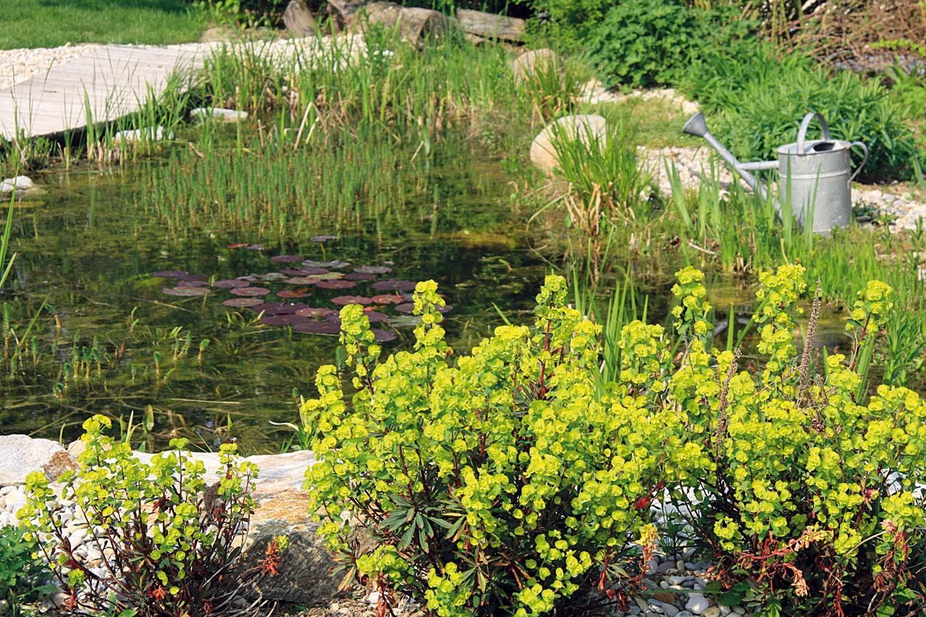Okolie jazierka po zime nikdy nepôsobí príťažlivo. Skoro na jar tu však začínajú rozkvitať prvé cibuľoviny avlhkomilné trvalky, napríklad záružlie. Sčistením jazierka ajeho okolia sa preto treba poponáhľať. Ak bolo vzime vypustené, bude nutné vyčistiť dno od napadaných nečistôt abahna ado formy treba dostať aj jeho bočné steny. Jazierko možno následne naplniť vodou avložiť doň koše sprezimovanými vodnými rastlinami. Ak bolo vzime napustené, odstráňte zjeho povrchu napadané lístie, kal asuché steblá rastlín. Na brehoch jazierka ostrihajte tesne nad pôdou vysadené trávy apobrežné rastliny. Na prázdne miesta sa dajú vysadiť predpestované nezábudky, príliš rozrastené pobrežné rastliny rozdeľte arozsaďte.