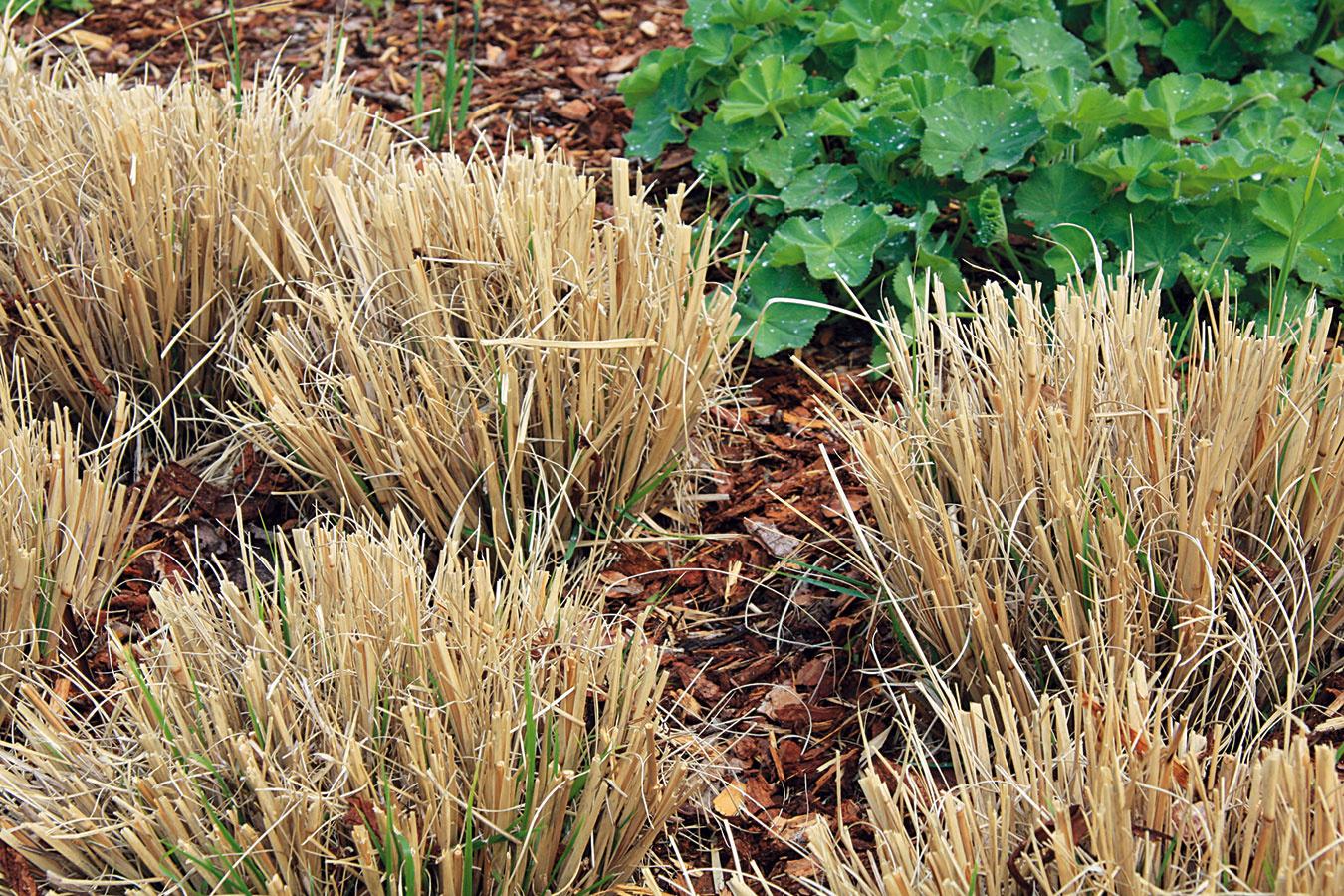 Vprvej polovici marca bolo nutné zrealizovať rez vysokých astredne vysokých okrasných tráv. Čím skôr sa uskutoční, tým je menšia šanca, že sa poškodia výhonky. Neskorší rez by navyše mohol oddialiť rast nových stebiel. Ideálne je rezať kúsok nad pôdou. Okolie tráv sa odporúča prekypriť aktrsom pridať preosiaty kompost. Počas teplých asuchých slnečných dní ich treba výdatne zavlažovať. Koncom marca je ideálna príležitosť staršie trsy ozdobnice aperovca ostrým rýľom rozdeliť arozsadiť, prípadne podarovať. Zazimované teplomilné kortadérie je lepšie odkryť až koncom marca, prípadne začiatkom apríla, keď už nehrozia silné mrazy. Ostrice akostravy sa nestrihajú, postačí len opatrne povyťahovať suché apoškodené steblá.
