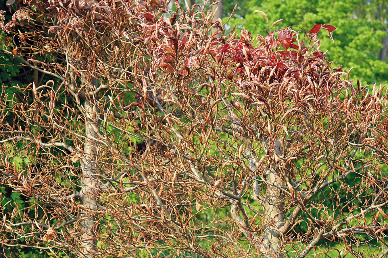 Skoro na jar prezrite aj fasády porastené popínavkami aodstráňte im všetky suché apolámané výhonky. Preč musí ísť aj nafúkané lístie, zimný odpad, prípadne zvyšky hniezd. Porast možno aj presvetliť. Stihnúť to však treba ešte predtým, ako začnú hniezdiť vtáky. Najdlhšie výhony sa odporúča popriväzovať kopore (jej pevnosť ešte predtým skontrolujte). Ostrihať treba aj výhony na miestach, kde prekážajú (okolie okien, dverí, odkvapových rúr). Na jar možno zakladať aj živé ploty (na jej začiatku najmä zopadavých listnáčov). Kým mrzne, môžete ešte zmladiť staršie listnaté živé ploty (aj ztisu). Ku všetkým živým plotom treba po skyprení pôdy nasypať okolo koreňov dlhodobo pôsobiace hnojivo.