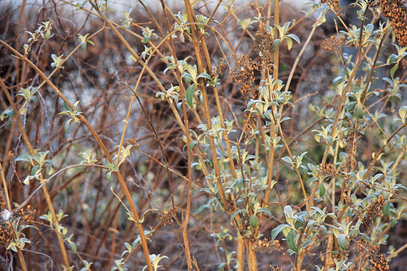 Aby boli kvitnúce kry vlete obsypané kvetmi, vyrazte do záhrady snožnicami. Väčšina znich (budlea, nátržník, bradavec, tavoľník či perovskia) totiž vyžaduje každoročný radikálnejší rez – výhonky zrežte vo výške 5 až 25 cm nad zemou. Aby však nepôsobili neprirodzene, konáre vyrastajúce zo stredu skráťte menej. Myslite aj na rez levandule vdruhej polovici alebo koncom mesiaca, pri ktorom sa nadzemná časť skráti tak, aby sa nezasiahlo staršie drevo. Rez vyžadujú aj hortenzie. Najčastejšie pestovanej hortenzii veľkokvetej (Hydrangea macrophylla) postačí odstrániť suché kvety. Tesne nad pôdou treba zrezať len staršie amálo kvitnúce výhony. Vprípade hortenzie stromčekovej (Hydrangea arborescens) skráťte odkvitnuté výhony asi opolovicu.