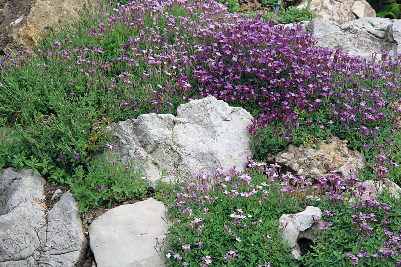 Skalka je väčšinou najkrajšia na jar, sjej uprataním sa preto treba poponáhľať. Najneskôr koncom mesiaca znej odstráňte zimnú prikrývku (chvojky, listy) anásledne ju opatrne vyčistite od napadaných listov. Odstráňte aj všetky vymrznuté skalničky apritlačte mrazom vytiahnuté (obnažené) korene rastlín. Do škár amedzier medzi kameňmi prisypte substrát chudobný na živiny. Nevyhnutné bude vyrovnať ado pôdy zapustiť aj uvoľnené kamene. Do voľných priestorov medzi kameňmi askalničkami nasypte rôzne hrubú kamennú drvinu, ktorá zabráni rastu burín apomôže zachovať kompaktný tvar rastlín. Vapríli môžete prázdne miesta dosadiť novými druhmi. Rastliny, ktoré sa vskalke príliš rozrástli, vyberte, rozdeľte amenšie kúsky znova vysaďte.