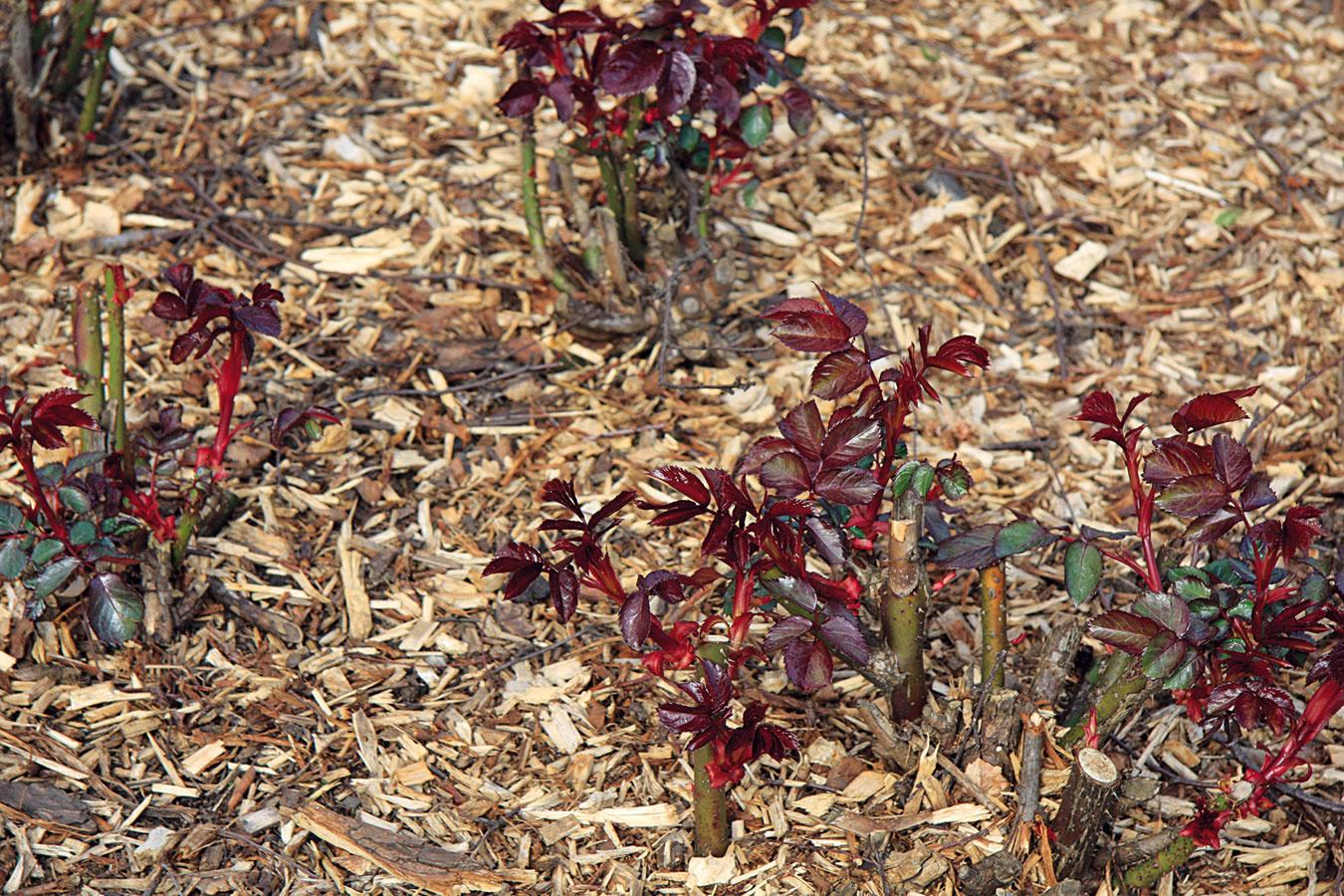 Ak už nehrozia silnejšie mrazy, odstráňte zo záhonov ruží prikrývku aod kríkov odhrňte nakopčenú zeminu (najneskôr do polovice apríla). Odstrihnúť treba namrznuté, choré asuché výhonky, ako aj tie, ktoré smerujú do stredu kríka. Polyantky skráťte na 40 cm, floribundy na 5 až 7 očiek aveľkokveté ruže na 3 až 4 očká, pričom pri tomto druhu je dobré ponechať len asi 4 mladšie zelené výhony. Ak boli stromčekové ruže zohnuté smerom kpôde, treba ich zdvihnúť, prípadne odbaliť zjutoviny azjednotlivých koruniek vystrihať suché výhonky. Ruže treba aj prihnojiť kvalitným hnojivom. Jar je výborná aj na presádzanie starších jedincov avýsadbu nových. Optimálne je vysádzať ich skoreňovým balom, na jar sa však dobre ujmú aj tie bez neho.