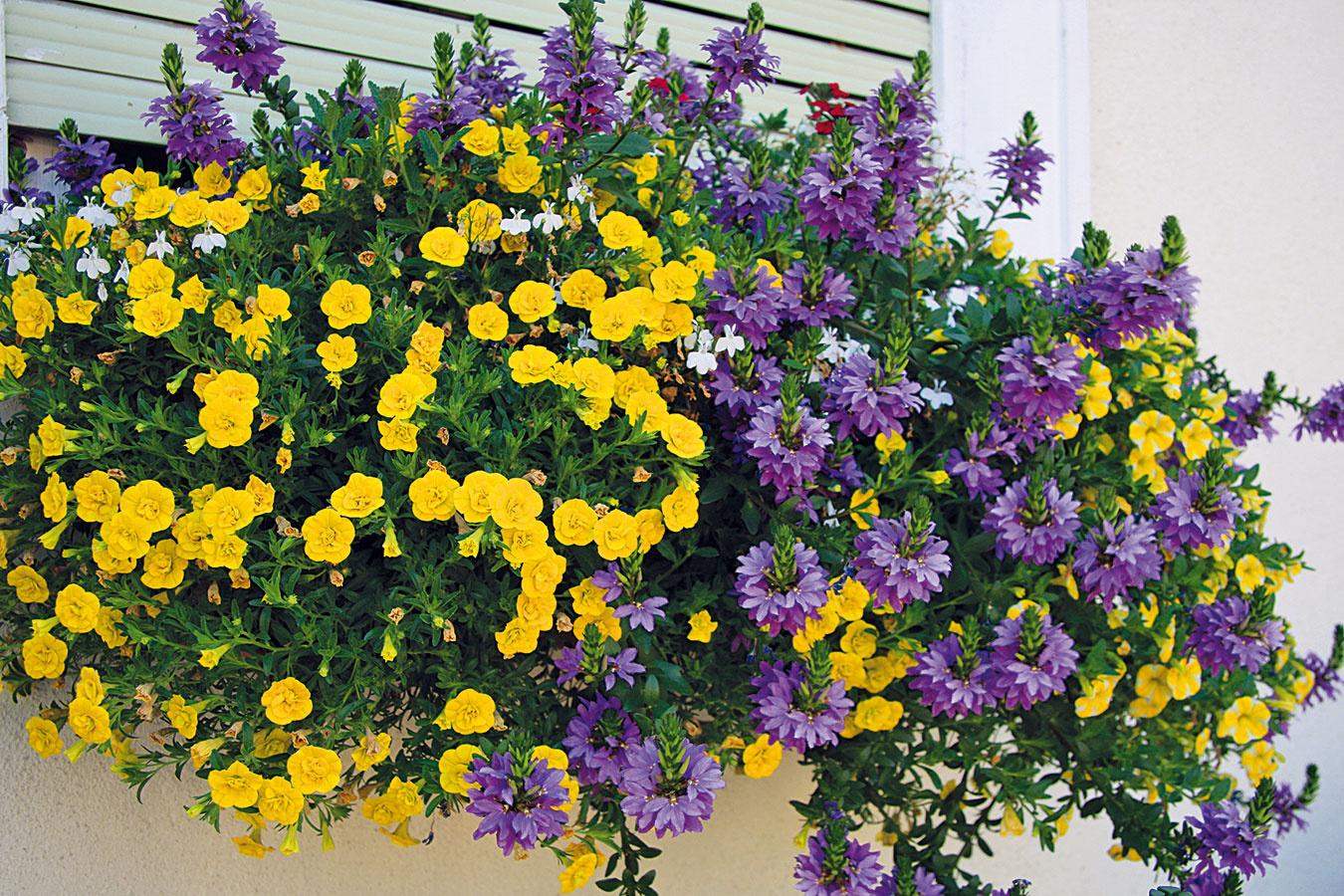 Vmáji si môžete vegetačné nádoby vysadiť kvitnúcimi letničkami. Vyberajte mierne nakvitnuté priesady vždy sohľadom na podmienky daného miesta. Nádoby si môžete vysadiť jedným druhom, prípadne rôznymi kombináciami letničiek so zhodnými pestovateľskými požiadavkami. Na výsadbu treba používať výlučne substrát na kvitnúce balkónové rastliny. Na slnečných miestach dobre porastú muškáty, petúnie, sanvitálie, dvojzubec, osteospermum, minipetúnie, ageráty či aksamietnice, vpolotieni krásne rozkvitne bakopa adariť sa bude aj netýkavkám, fuksiám, begóniám aokrasnému tabaku. Skladbu kvitnúcich rastlín môže doplniť hortenzia. Do výsadby je vhodné zakomponovať aj druhy okrasné listom, napríklad plektrant.