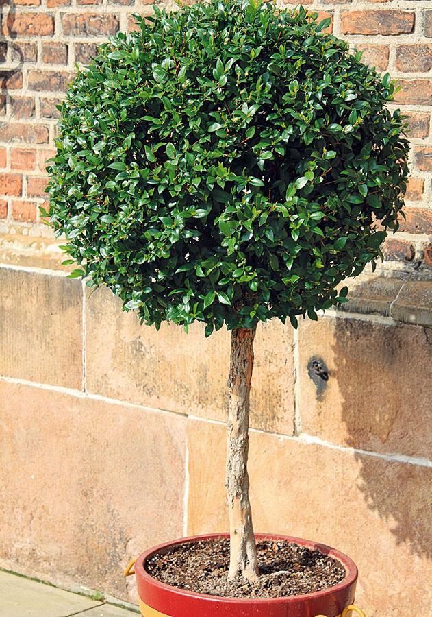 Vostatnom čase je obľúbené pestovanie drevín na kmienkoch, pričom máj je ideálny na ich výsadbu. Najčastejšie ide ošpeciálne upravené zavrúbľované tuje, cyprušteky, borovice, kryptomérie, borievky alebo cyprusy, zlistnáčov vtáčí zob, vavrínovec či krušpán. Sú to vysoko dekoratívne rastliny, ktoré sa dajú vysadiť priamo do záhonov (ideálne vprednej časti záhrady) alebo do väčších nádob. Životnosť týchto drevín nie je vporovnaní sich prirodzenými formami až taká dlhá, pri dobrej starostlivosti sú však dlhoveké. Vysádzajte ich do kvalitného substrátu adoprajte im pravidelnú zálievku, vďaka čomu sa rýchlo zakorenia. Atraktívny tvar podporte prihnojovaním aspoň dva razy ročne (na začiatku akonci vegetačného obdobia). Dreviny môžete podľa potreby tvarovať.