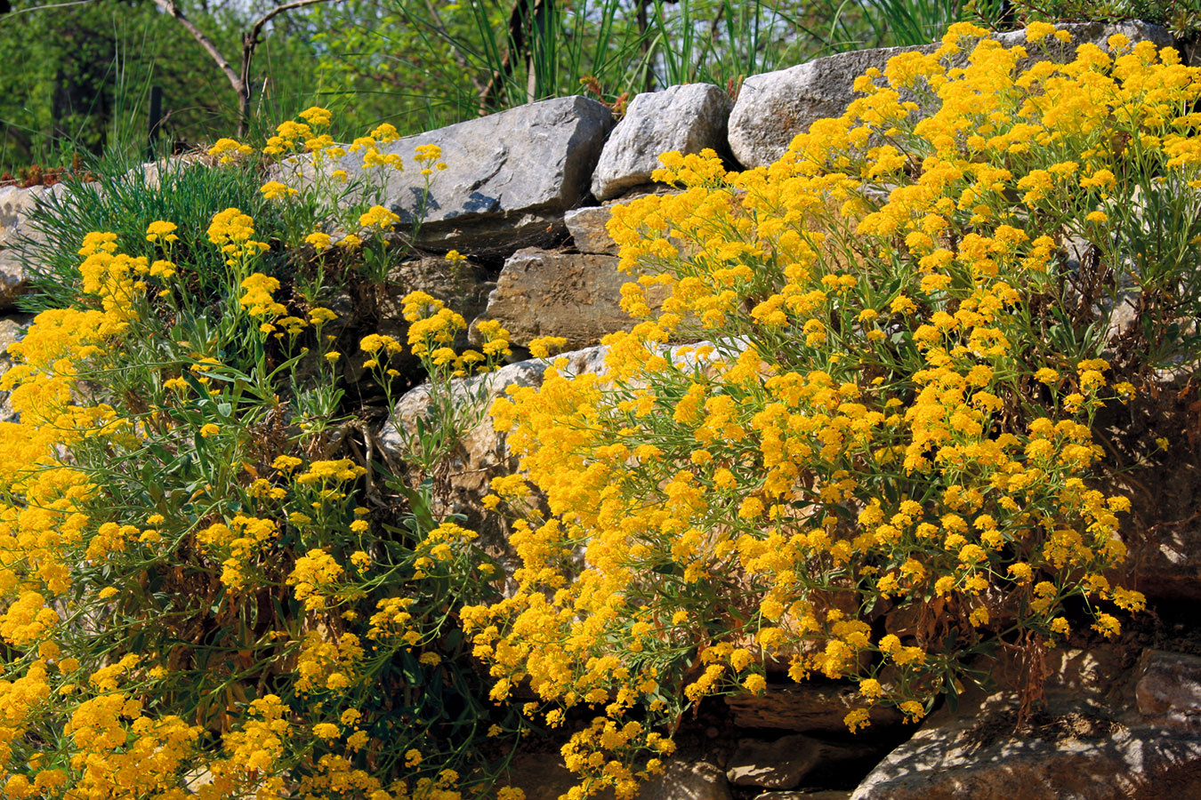 Pozemok na svahu môže byť skvelou príležitosťou na vytvorenie múrika, ktorý môže i nemusí byť priechodný. Mal by pozostávať z jedného druhu kameňa, ktorý sa prirodzene nachádza v blízkom okolí. Nie je potrebné vysádzať ho množstvom rôznych rastlinných druhov – vhodné sú skalničky alebo suchomilné rastliny, ktoré netreba zalievať či inak ošetrovať. Podľa možnosti voľte také, ktoré sú celoročne zaujímavé. Napríklad tarica skalná (Alyssum saxatile) múrik v jarnom období na pomerne dlhé obdobie rozžiari množstvom žltých súkvetí a po odkvitnutí je príťažlivá vďaka striebristému olisteniu. Neprekáža jej slnko, teplo ani vietor avponuke nájdete mnohé zaujímavé kultivary. Efekt znásobíte vysadením viacerých jedincov.