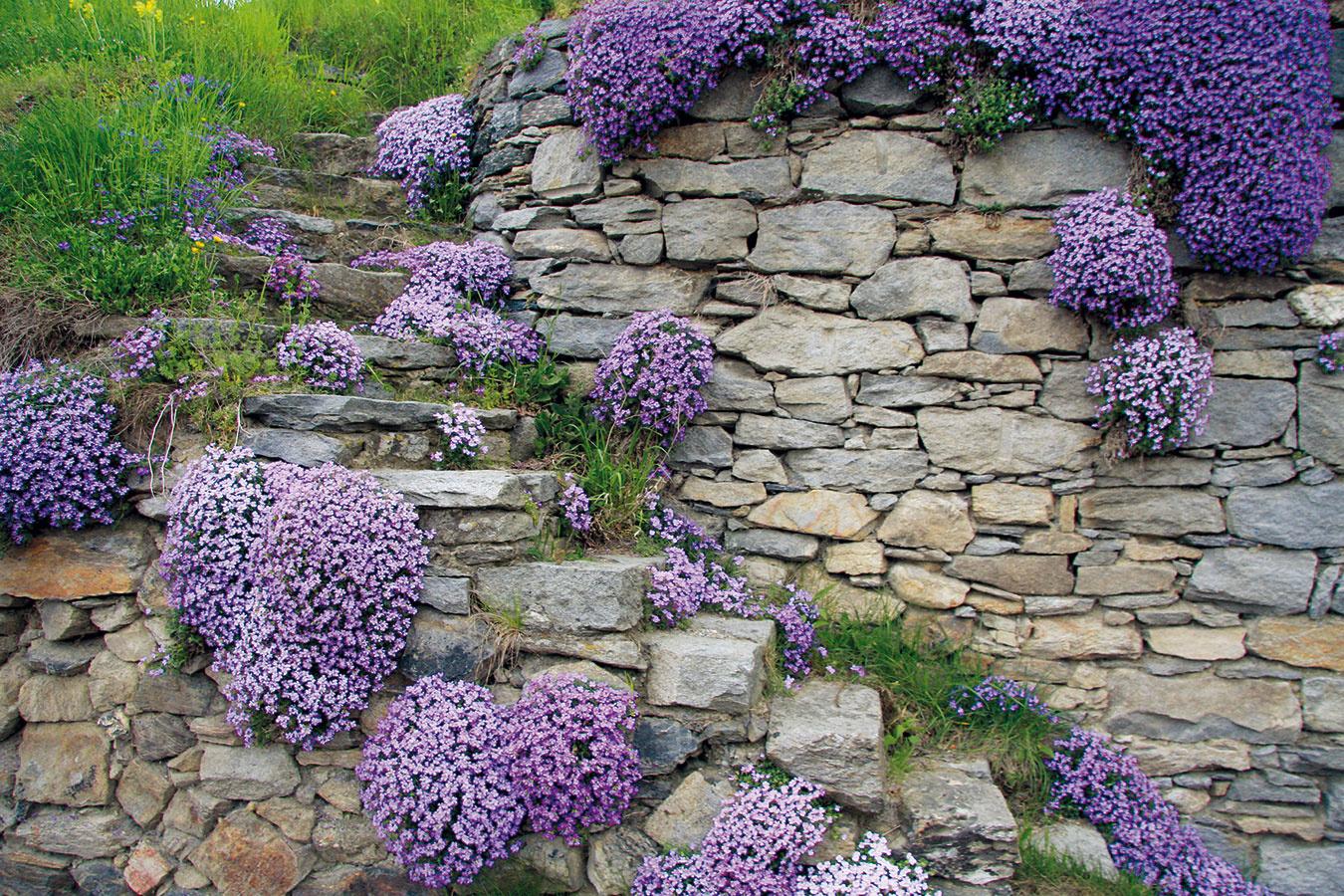 Múriky v prírodne koncipovanej záhrade, ktorých súčasťou sú aj schody, môžu na jar rozžiariť kvetinové koberčeky. Tie najkrajšie vytvára romanticky pôsobiaca nenáročná tarička (Aubrieta deltoidea) s fialovými alebo bielymi kvetmi. Na svoj rast potrebuje slnko, pričom jej viac vyhovujú vyššie polohy. Nevyhnutná je aj výživná priepustná pôda a dostatok miesta. Taričku možno do škár v múrikoch vysádzať aj počas kvitnutia. V takomto prípade je však nevyhnutný koreňový bal, ktorý je dobré do škáry opatrne zatlačiť. Výhodou je, že po výsadbe sa rýchlo zakorení. Po odkvitnutí možno trsy tejto skalničky vybrať, rozdeliť a rozsadiť na nové miesta. Rastlina sa dobre rozmnožuje aj odrezkami. Miluje nahriate kamene a zle znáša miesta, kde steká voda.