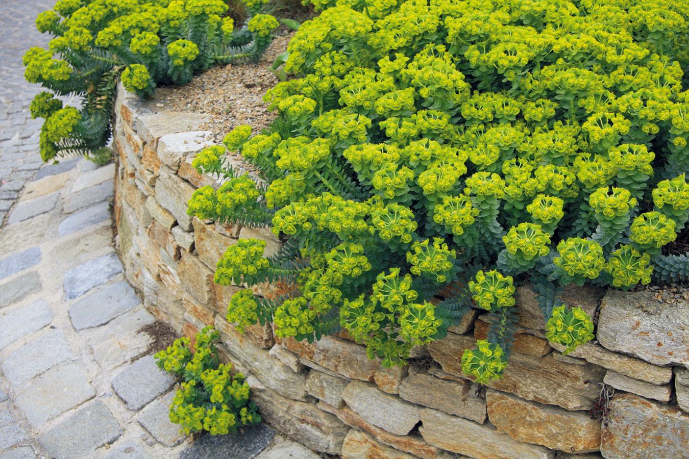 Jednou z najvhodnejších trvaliek do suchých kamenných múrikov je mliečnik (Euphorbia myrsinites), ktorý každú jar prekvapuje svojím sviežim vzhľadom, žltozelenými súkvetiami. Zaujme aj svojimi dlhými prevísajúcimi striebristými výhonkami, ktoré sú pekné aj počas mrazivých dní – najmä v čase, keď ich ozdobí srieň. Rastlinu možno vysadiť na rôzne miesta – priamo do múrika, pod múrik či na jeho korunu. Často sa sama rozmnoží a rozšíri tam, kde jej to najviac vyhovuje. Ak vysadený mliečnik v rámci jedného múrika ešte dva razy zopakujete, docielite tým príjemnú harmóniu. Mliečnik sa ujme len vtedy, ak je vysadený s koreňovým balom. Presádzanie znáša na rozdiel od iných skalničiek horšie.