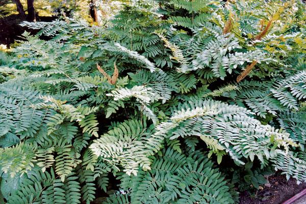 Paprade – záchrana pre tienisté záhrady