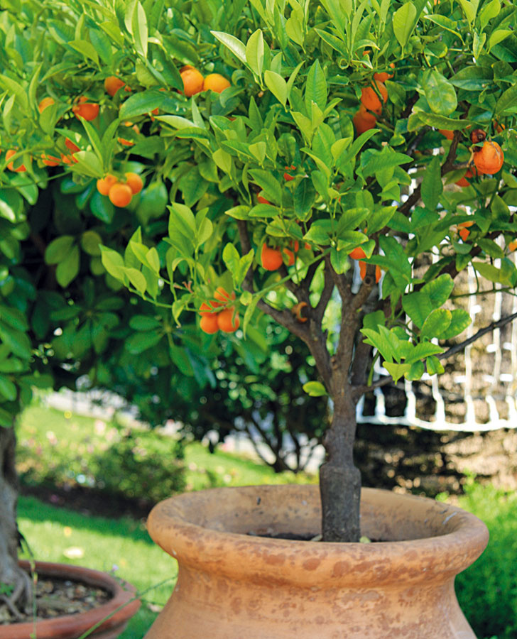 Citrus kalamondin (Citrus microcarpa) pri bazéne zaručene navodí správnu dovolenkovú náladu.