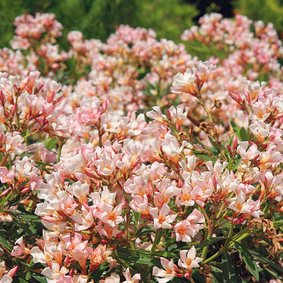 Oleander (Nerium oleander) upúta aj množstvom nových kultivarov s netradičnejšími kvetmi.