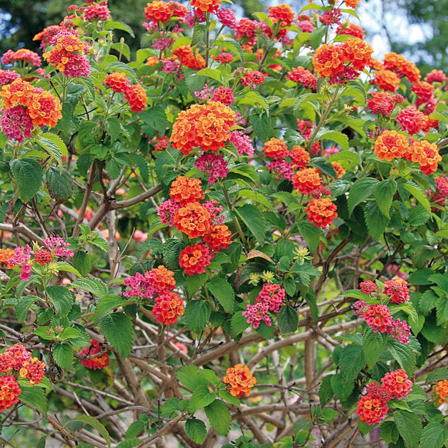 Lantana (Lantana camara) je bohato kvitnúca drevina vhodná na teplejšie slnečné miesta.