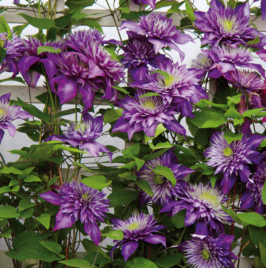 Plamienky (Clematis) patria kobľúbeným dlho kvitnúcim okrasným popínavým rastlinám.