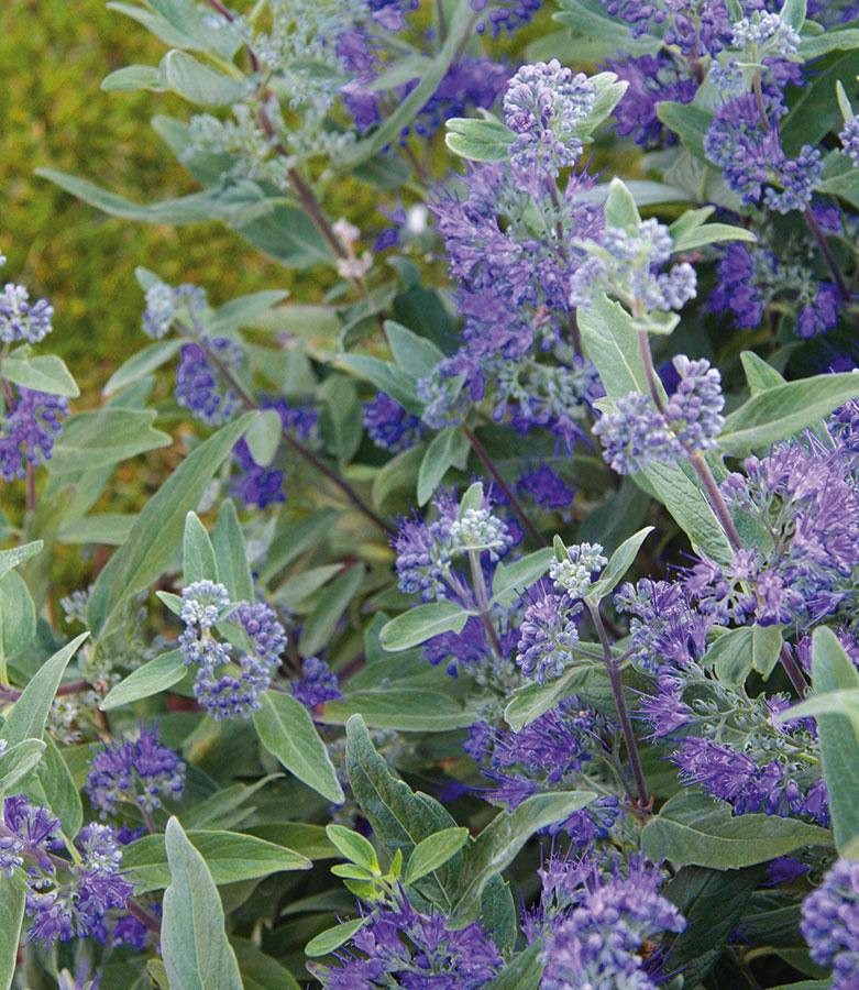 Bradavec (Caryopteris clandonensis) patrí kneveľkým anaozaj vďačným okrasným krom. Začiatkom jesene kvitne bledomodrými kvetmi avďaka kombinácii so striebristým olistením je vtomto období neprehliadnuteľný. Pestovať ho možno nielen na záhonoch, ale aj vo väčších nádobách. Ide oteplomilný ker, preto je lepšie vysádzať ho na chránené vyhriate miesto. Vprvom roku po výsadbe potrebuje aj zimnú ochranu. Bradavec znesie slnko aj mierny polotieň aneprekáža mu ani suchšia pôda. Predpokladom každoročného bohatého kvitnutia je predjarný radikálnejší rez. Vsortimente nájdete niekoľko pekných druhov akultivarov, zaujímavé sú tie so žlto abielo panašovanými listami, ktoré zaujímavo presvetlia tmavšie časti záhrady.