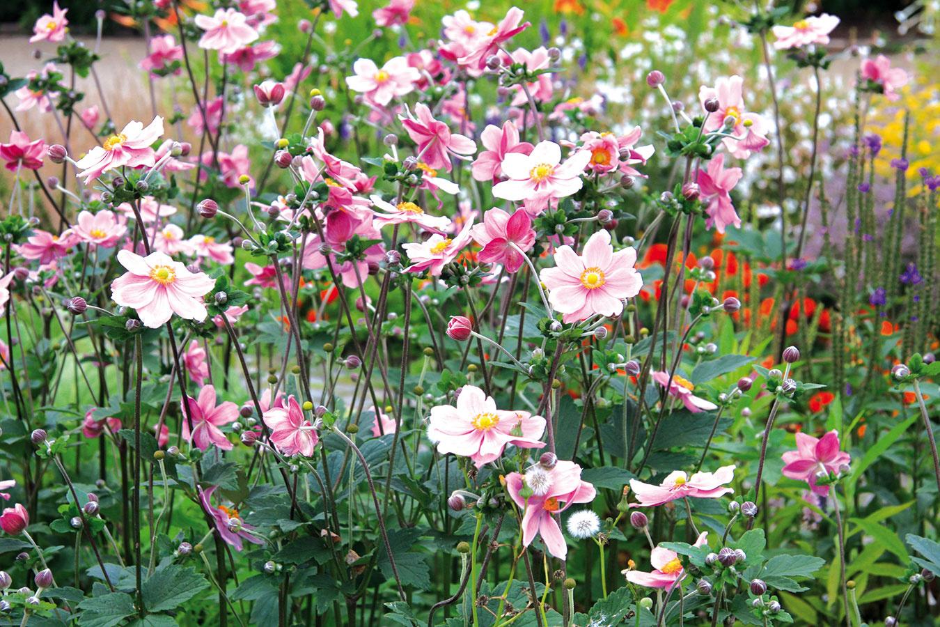 Počas celej jesene je vpredaji množstvo krásnych trvaliek. Knajkrajším patria veternice japonské (Anemone japonica) alebo veternice hupehenské (Anemone hupehensis). Tieto vyššie nápadné trvalky obvykle bohato kvitnú až do neskorej jesene ružovými, fialovými alebo bielymi kvetmi. Tie môžu byť plné alebo jednoduché. Videálnych podmienkach dosahujú výšku až 1,5 m. Dariť sa im bude vpolotieni, ale aj vtieni, na mieste shumóznou, mierne vlhkou pôdou. Okrem veterníc sa možno na záhonoch popýšiť nádherne kvitnúcou prilbicou, ploštiničníkom, astrami a,samozrejme, chryzantémami. Vysádzanie je vhodné naplánovať na vlhkejšie dni. Ak to priestor umožňuje, vysaďte si vždy aspoň tri kusy zjedného druhu, vďaka čomu vznikne pekný trs.