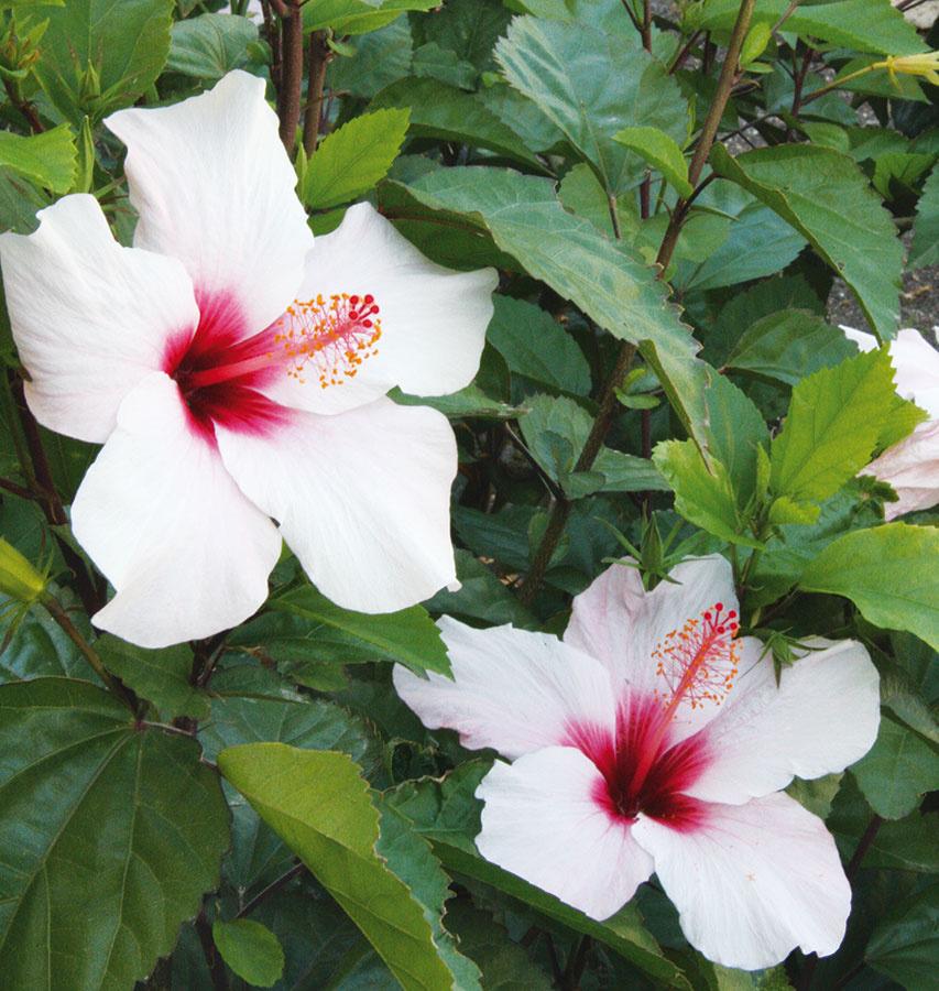 Ibištek (Hibiscus rosa-sinensis) sa videálnych podmienkach rýchlo rozrastie apostupne začne prekážať, pričom vdôsledku nedostatku svetla často odhaľuje drevnaté stonky.