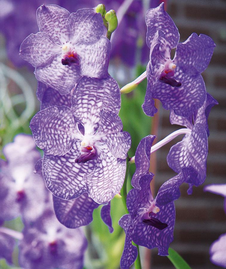 Ku kvitnúcim rastlinám, ktoré majú vzimných záhradách privilegované miesto, patria orchidey.