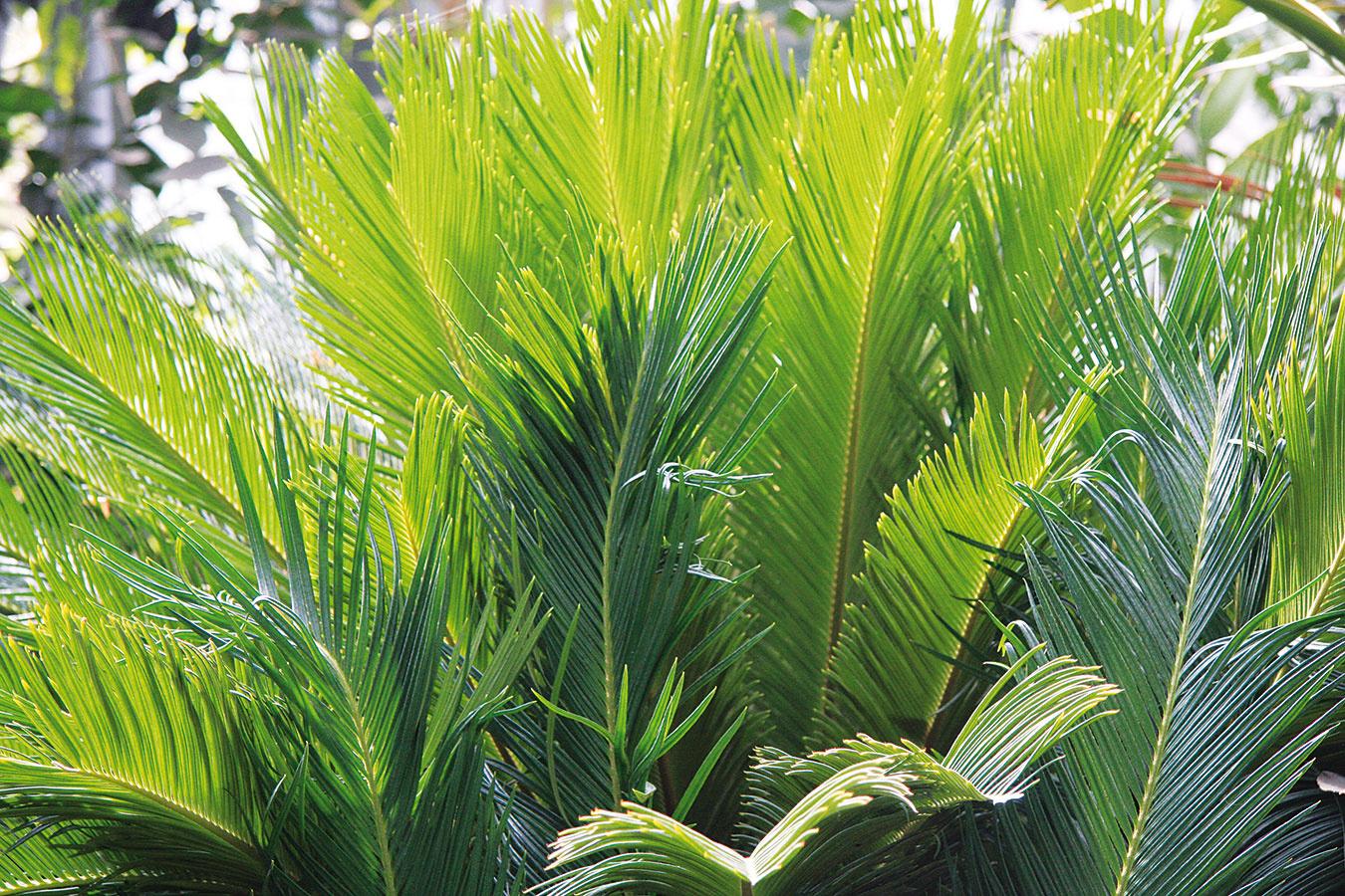 Cykasy (Cycas revoluta) sú pozostatkom zdávno minulých dôb apreto sú vporovnaní sinou interiérovou zeleňou vzácnejšie. Zimnej záhrade dodajú noblesu, adokonca sa im tu bude dariť oveľa lepšie ako inde vdome.